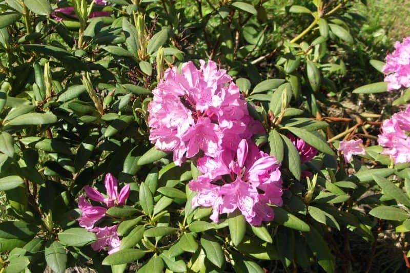 Opret maske i Photoshop på Rhododendron billedet