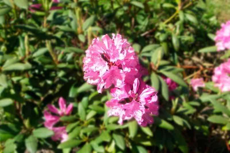 Rhododendron billede med Gaussisk sløring